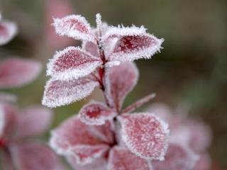 обои Замерзший листья фото