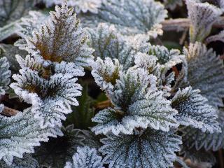 обои Замерзшие листья фото