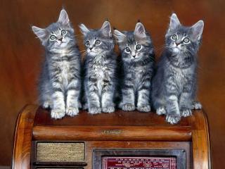 обои Квартет котят фото