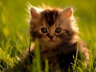 обои Мохнатый котенок фото