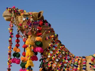 обои Индия. Верблюд фото