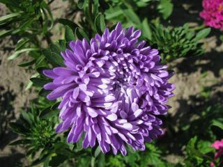 обои Фиолетовая астра фото