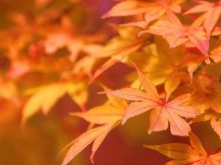 обои Япония - осенние листья фото