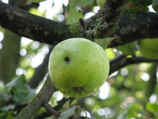 обои Зеленое яблоко фото