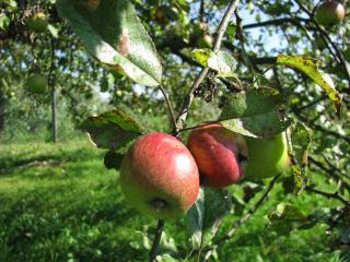 обои Красные яблоки-близнеци фото