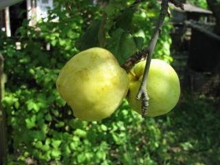 обои Два желтых яблока фото