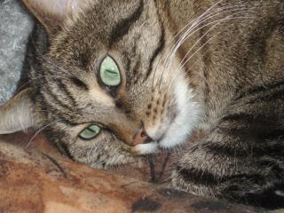обои для рабочего стола: Полосатый кот