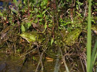 обои для рабочего стола: Лягушки на болоте