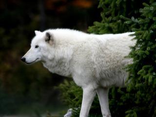обои Белый волк под елкой фото