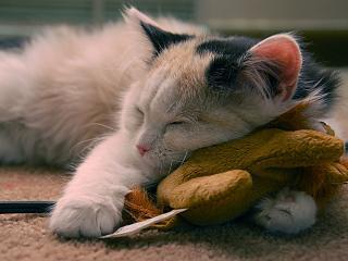 обои Спящий котообразный на природе фото