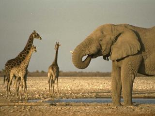 обои И слон и жирафы фото