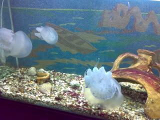 обои Белые медузы фото