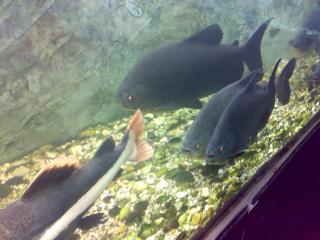 обои Чёрные плоские рыбы фото