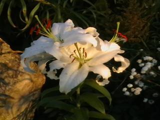 обои Белая лилия фото