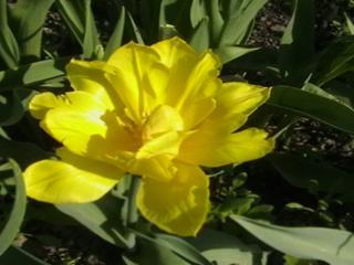 обои Желтый тюльпан фото