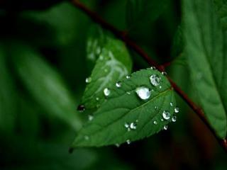 обои Капельки на зелёных листиках фото