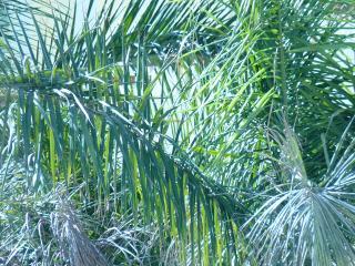 обои Пальма близко фото
