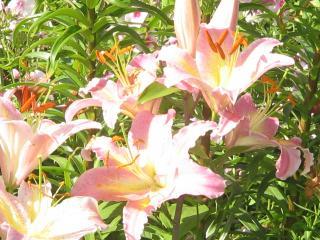 обои Розовенькие цветочки фото
