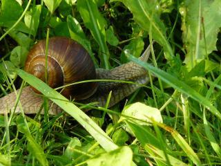 обои Улитка в траве макросъемка фото