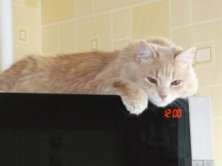 обои Кот на микроволновке фото