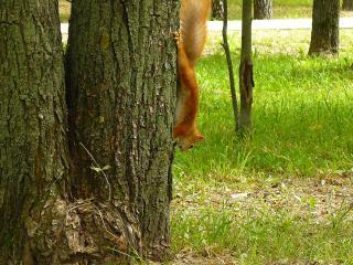 обои Белка спускается с дерева фото