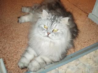 обои Серый кот на полу фото