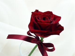 обои Алая роза с лентой фото