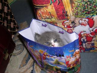 обои Кошка Ася в виде подарка фото