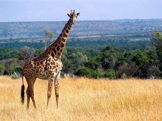 обои Жираф в Кении фото