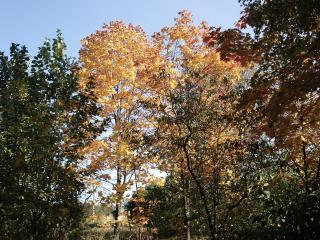 обои Золотистые деревья леса фото