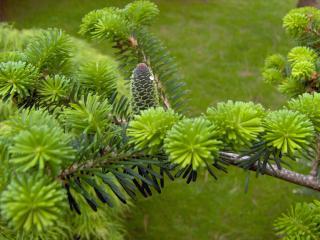 обои Зеленые шишки на насыщенно зеленой ветке фото