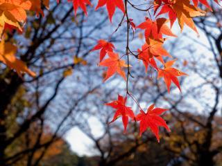обои Оранжевые и красные кленовые листья фото