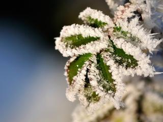 обои Листья в снегу фото