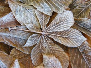 обои Коричневые листья в инее фото