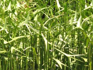 обои Речная травка фото