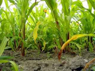 обои Кукуруза и цветок фото