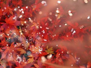 обои Багровые осенние листья клена фото