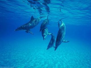 обои Дельфины под водой фото