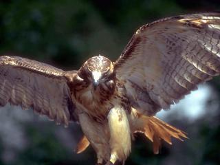 обои Орел - надвигающаяся удача фото