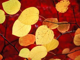 обои Желтая листва на красном фоне фото