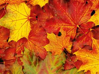обои Кленовые листья фото