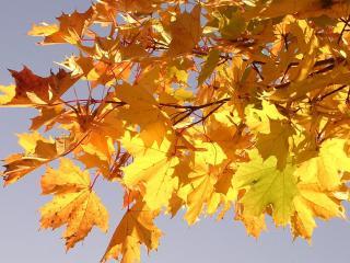 обои Кленовые листья на фоне неба фото