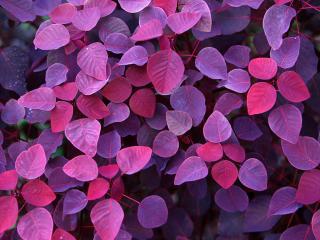 обои Фиолетовые листья фото
