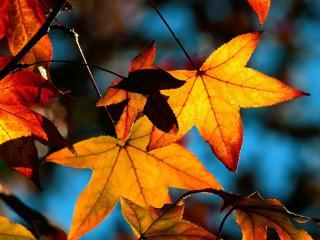 обои Жёлтые листья фото
