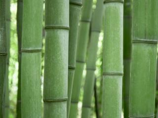 обои Роща бамбуков фото