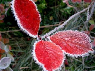 обои Красные листья в инее фото