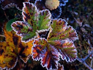 обои Листья после заморозка фото