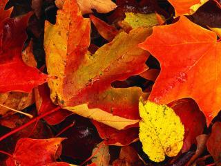 обои Опавшие жёлтые листья фото