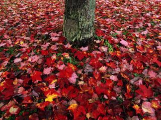 обои Ковер из листьев вокруг дерева фото
