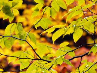 обои Пожелтевшие листья фото